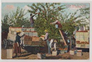 Picking Apples, Five Mile Prairie, Spokane WA