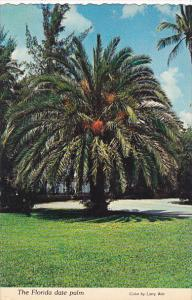 Florida Date Palm