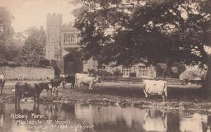 Cows Paddling Abbey Farm Yeovil Somerset Antique St Ives Is Perfect Postcard