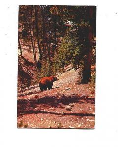 Bear in The Woods, Greetings from Maine. Pine Tree State,