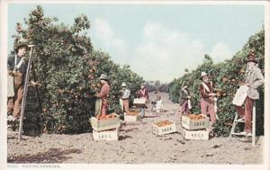 Orange Picking Scene Detroit Publishing
