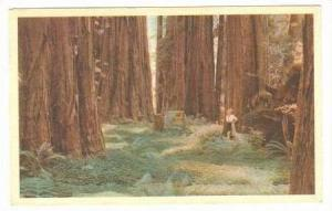 Vast Giant Redwood Forests In The Redwood Empire,  PU-1959