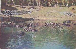 Water Buffalo bathing , Anuradhapura , Ceylon , 50-70s