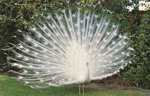 White Peacock Sarasota Florida 1968