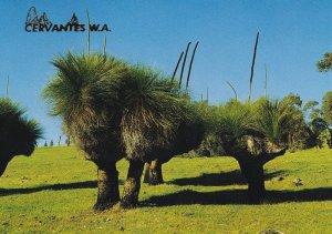 Cervantes Western Australia Blackboys Postcard