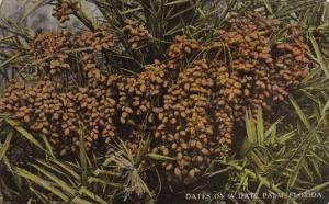 Dates On A Date Palm Tree In Florida