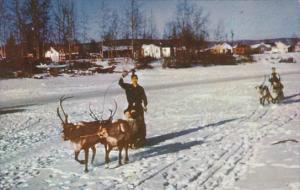 Alaska Reindeer Team and Sled On Chena At Fairbanks