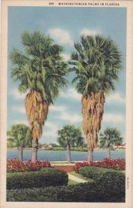 Washingtonian Palms In Florida 1935 Curteiclh