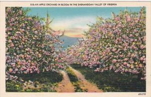 Virginia An Apple Orchard In Bloom In The Shenandoah Valley