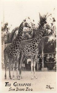 RP: The Giraffes , SAN DIEGO , California , 1920-30 ; Zoo