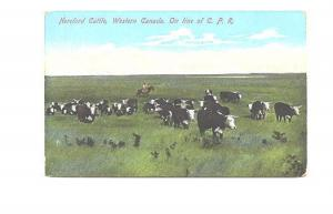 Herd of Herford Cattle Western Canada on Line of CPR, 201343, Made in Germany