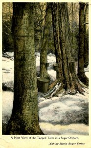 VT - Maple Sugaring. Tapped Trees in Orchard