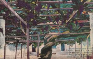CARPINTERIA, California, 1900-10s; Largest Grape Vine in the World