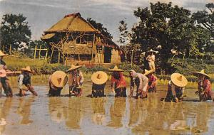 Philippines Old Vintage Antique Post Card Rice Planting Luzon Writing on back