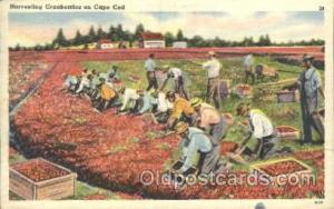 Harvesting Cranberries Farming, Farm, Farmer, Postcard Postcards Cape Cod, Ma...