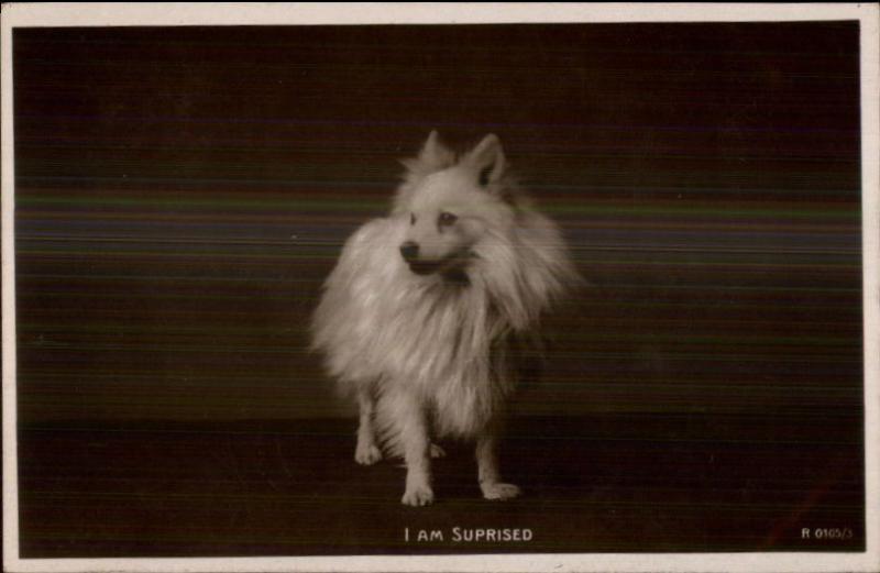 Sweet Dog Pomeranian I Am Surprised C1910 Real Photo Postcard