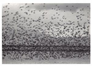 Postcard Flock of Ducks, California, USA by Robert Northshield #60