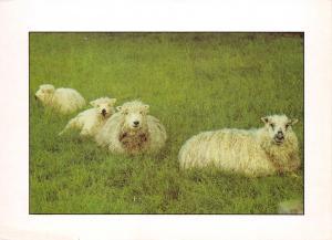 Postcard Woolly Sheep by Simon McBride Prints A95