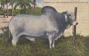 Florida Bradenton Emperor Jr 1th Owned By T P Chaires Jr 1953
