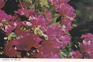 Flowers, Azaleas in Bloom During Springtime, Brookgreen Gardens, Murrells Inl...