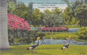 Florida Sarasota Golden Crested Cranes In Sarasota Jungle Gardens 1956 Curteich