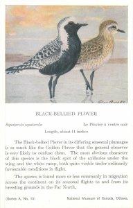 Postcard Animals bird fly drawing black bellied plover squatarola squatarola