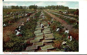 California Typical Raisin Orchard