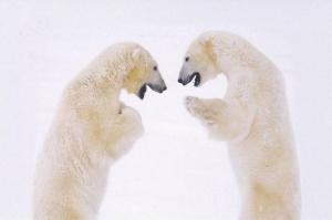 2 Polar Bears Fighting in Snow, Postcard #9