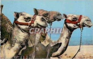 Modern Postcard Scenes etTypes Heads of Camels