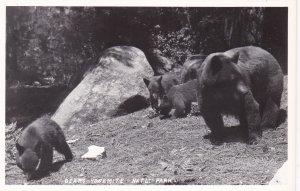 RP, Bears, Yosemite National Park, California, 1930-1950s