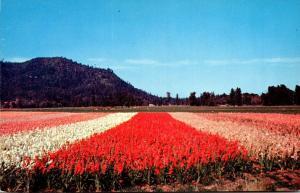 Oregon Gladiolus Field In Southern Oregon