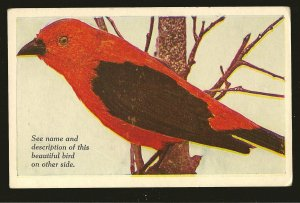 Vintage Scarlet Tanager Art Meredith Publications Des Moines Color Postcard