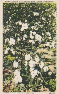 Cotton Stalk Loaded With Cotton In Dixieland