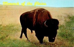 Monarch Of The Plains Buffalo In Black Hills Of South Dakota