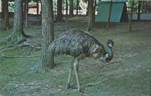 Emu not Ostritch - Gobblers Knob Deer Park Parke Co Indiana