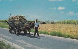 Picturesque native mule cart hauling sugar cane harvest from fields to mill, ...