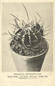 Cactus Cactaceae, Echinocactus Coptonogonus Lem. (1920s) Otto Stoye Postcard