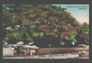 090316 BERMUDA Royal Poinciana Tree Vintage PC