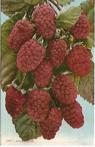 Antique 1910 Postcard Logan Berries Edward H Mitchell San Francisco California