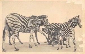 Zebra, Non Postcard backing Transvaal Zebra Field Museum of Natural History, ...