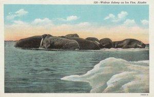 Walrus Asleep on Ice Floe, ALASKA, 1930-40s
