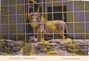 Male African Lion Panthera Leo Kansas City Zoo