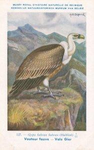 Griffon Vulture Gyps Fulvus WW2 Rare Bird Postcard
