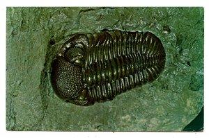 Trilobite from Sylvania, Ohio