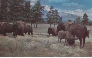 Buffalo Herd in Black Hills - Rapid City, SD South Dakota