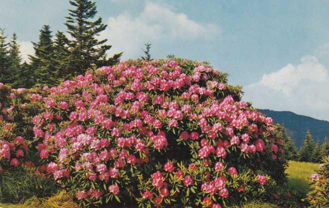 Purple Rhododendron Flowers in Full Bloom