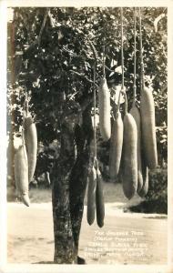 Coconut Grove FL~Charlie Black's Place~Sausage Tree~Real Photo Postcard c1934