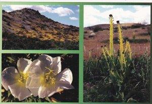 Flowers Primroses and Desert Candles Mojave Desert Barstow California