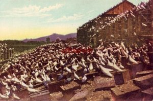 over 100,000 birds PIGEON FARM, LOS ANGELES, CA publ by Benham Indian Trading Co