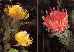 Protea Duet - Southern Africa